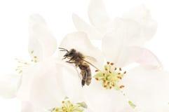 Abeja y flores blancas Foto de archivo libre de regalías