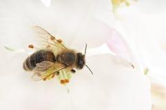 Abeja y flores blancas Imagenes de archivo