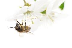 Abeja y flores blancas Imagen de archivo