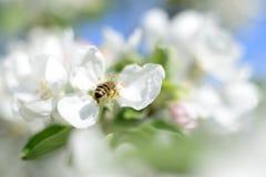 Abeja y flores blancas Fotos de archivo