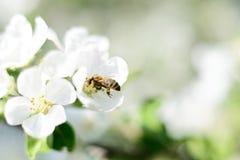 Abeja y flores blancas Foto de archivo