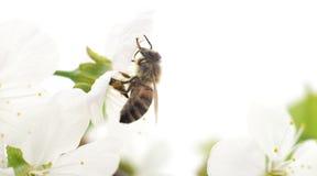 Abeja y flores blancas Imagen de archivo libre de regalías