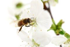 Abeja y flores blancas Fotos de archivo libres de regalías