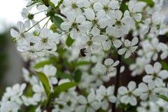 Abeja y flores blancas de las flores de cerezo en un día de primavera Fotografía de archivo