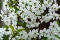 Abeja y flores blancas de las flores de cerezo en un día de primavera Foto de archivo