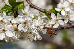 Abeja y flores blancas en primavera Imagen de archivo