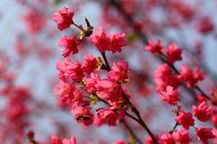 Abeja y flores de cerezo Imagen de archivo