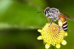 Abeja y flores de Hony Imagen de archivo