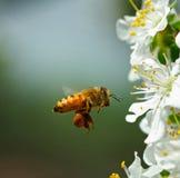 Abeja y flores de la pera Foto de archivo libre de regalías