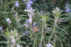 Abeja y flores de polinización Imagen de archivo