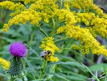 Abeja y flores 2017 de Thornhill Imagenes de archivo