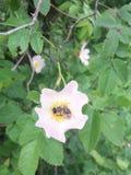 Abeja y flores del árbol salvaje Fotografía de archivo
