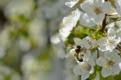 Abeja y flores del manzano Fotos de archivo