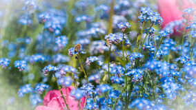 Abeja y flores en tiempo de primavera Fotografía de archivo
