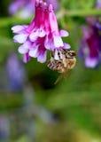 Abeja y flores rosadas Imagen de archivo libre de regalías