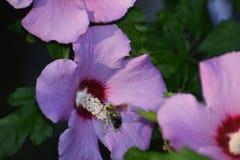 Abeja y flores salvajes Imágenes de archivo libres de regalías