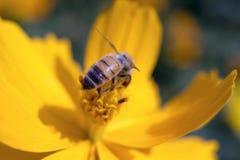 Abeja y flower2 Foto de archivo libre de regalías