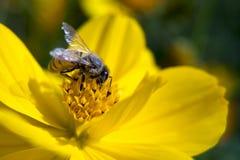 Abeja y flower4 Foto de archivo libre de regalías
