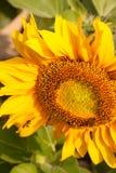 Abeja y girasol Imagen de archivo libre de regalías