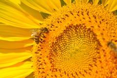 Abeja y girasol Foto de archivo libre de regalías