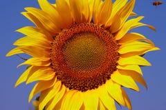 Abeja y girasol con el cielo azul Imagen de archivo libre de regalías
