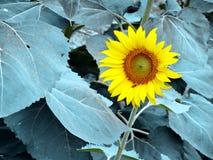 Abeja y girasol en las hojas frías Imágenes de archivo libres de regalías