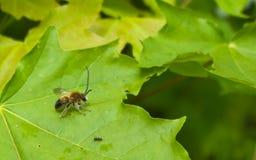 Abeja y hormiga Imagen de archivo libre de regalías