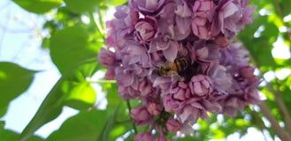 Abeja y lila Fotografía de archivo