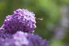 Abeja y lila. Imagen de archivo
