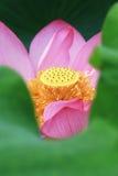 Abeja y loto Imagen de archivo