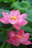 Abeja y loto Imagen de archivo libre de regalías