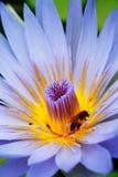 Abeja y loto Foto de archivo