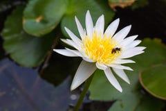 Abeja y loto amarillo blanco Imagenes de archivo