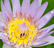 Abeja y loto rosado Foto de archivo