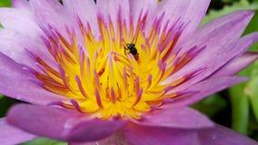 Abeja y Lotus en jardín Foto de archivo