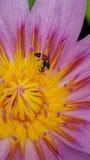 Abeja y Lotus en jardín Fotografía de archivo libre de regalías