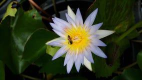 Abeja y Lotus en jardín Fotos de archivo