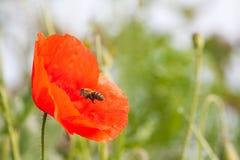 Abeja y mala hierba roja Imagenes de archivo