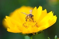 Abeja y margarita amarilla Fotos de archivo libres de regalías