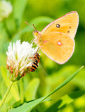 Abeja y mariposa Fotografía de archivo libre de regalías