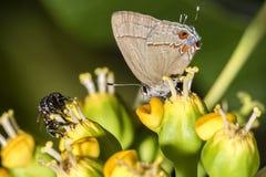 Abeja y mariposa en el cierre de la flor para arriba Foto de archivo libre de regalías
