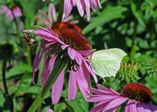 Abeja y mariposa en un coneflower púrpura Imagenes de archivo