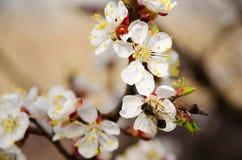 Abeja y mariquita en las flores de la cereza Foto de archivo