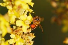 Abeja y meliloto amarillo, trébol dulce Fotografía de archivo