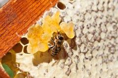 Abeja y miel Foto de archivo