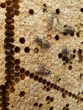 Abeja y miel en el bosque Imagen de archivo libre de regalías