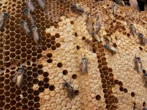 Abeja y miel en el bosque Foto de archivo