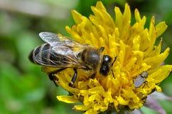 Abeja y mosca que se sientan en una flor Imagen de archivo