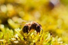 abeja y musgo Imagen de archivo