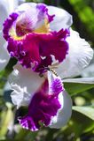Abeja y orquídea Imagen de archivo